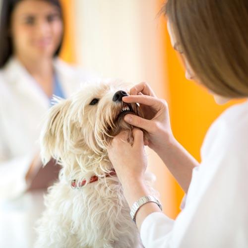 holly-springs-vet-dog-teeth-cleaning
